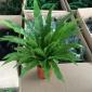 植物盆栽推荐【鸟巢蕨】含盆创意办公室内净化空气吸甲醛水培绿植